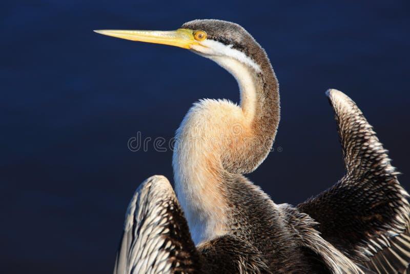 Anhinga, lac swan noir à Perth, Australie photos stock
