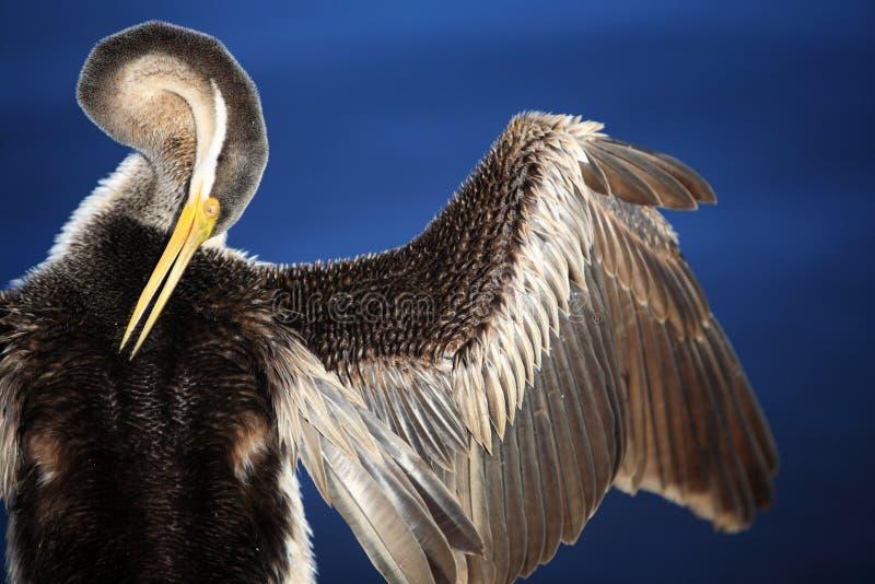 Anhinga, lago nero swan a Perth, Australia immagini stock