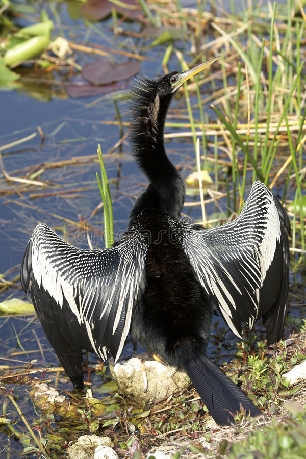 Free Anhinga Male Bird Royalty Free Stock Photography - 864117