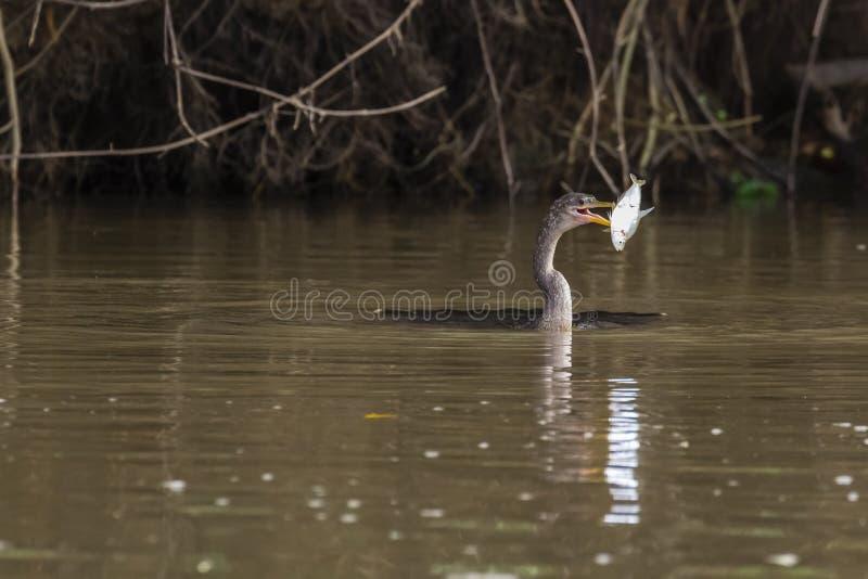 Anhinga - Anhinga Anhinga - Mittelamerika lizenzfreie stockbilder
