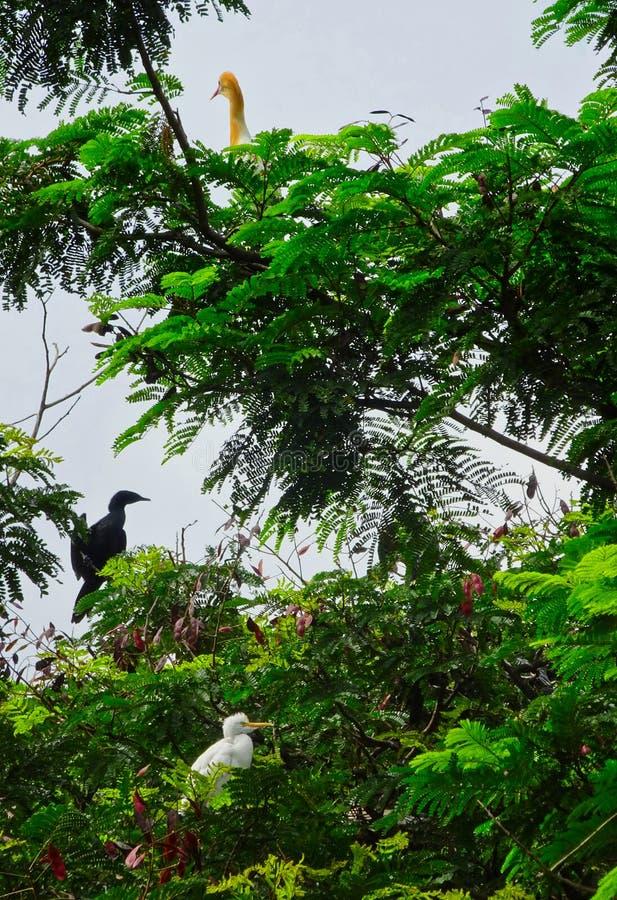 Anhinga- och nötkreaturägretthäger på ett träd som kopplar av på en molnig dag royaltyfri bild