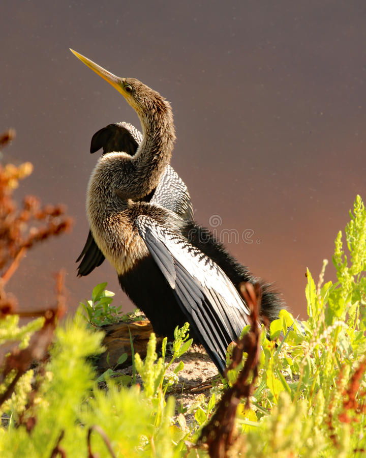 Anhinga perched on shore of river stock image