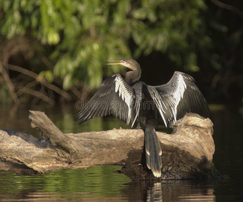 Download Anhinga peru arkivfoto. Bild av fjäder, wild, ambles, vatten - 502330