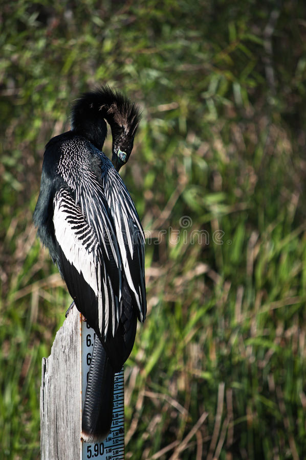 Download Anhinga Resting On A Water Measure Stock Image - Image: 18716773