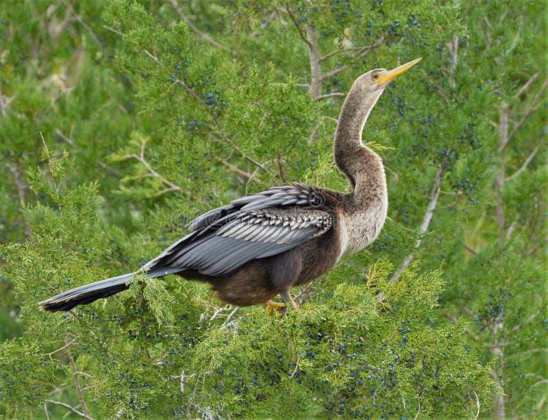 Anhinga schijnt een nieuwsgierig mengsel van andere vogels, met het hoofd, hals en vleugels van een reiger, en de voeten en het g stock fotografie