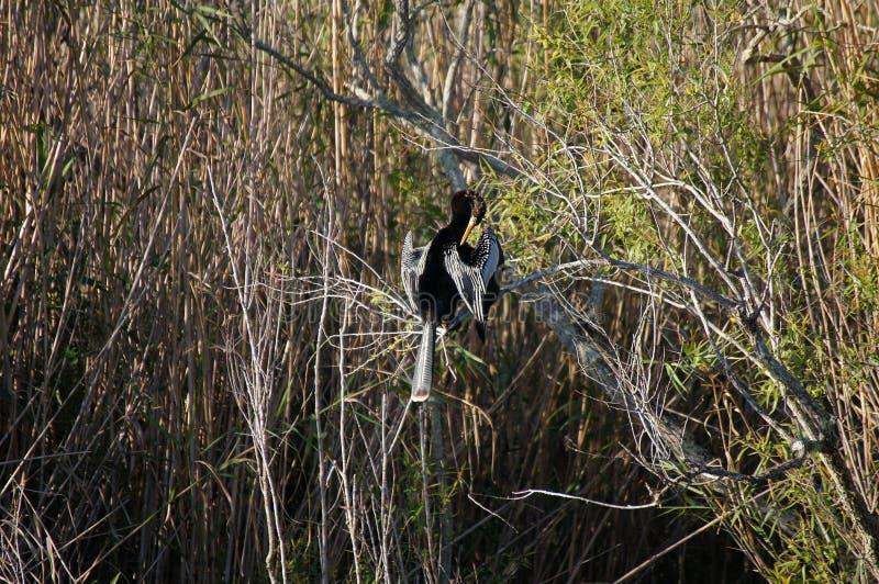 Anhinga se reposant sur les plumes de branche et de nettoyage image stock