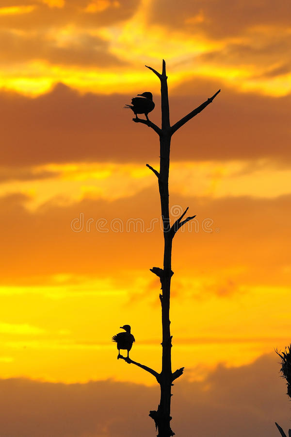 Anhinga-Sonnenuntergang stockfotos