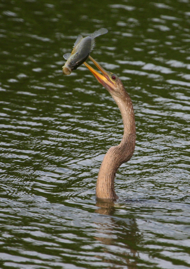 Anhinga with speared large-mouth bass. Anhinga (Anhinga anhinga) and fish, Everglades NP stock image