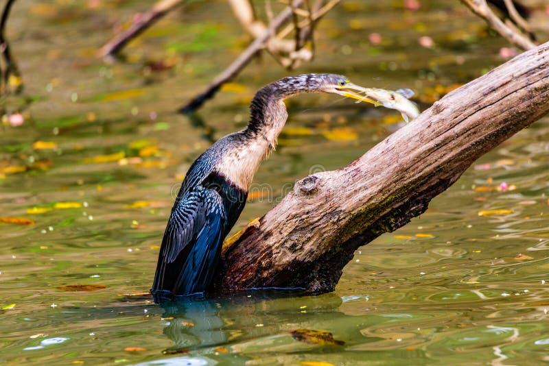 Anhinga Spearfishing photographie stock libre de droits