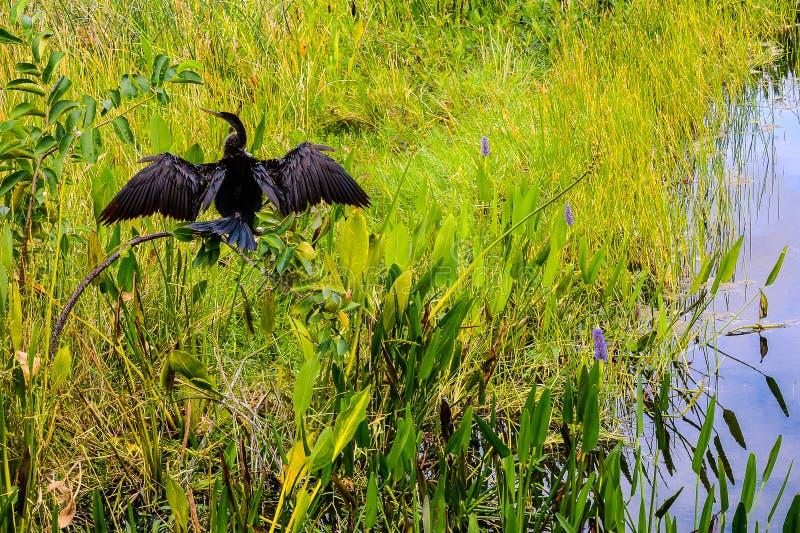 Anhinga Sunbathing in a Florida Wetland royalty free stock photos
