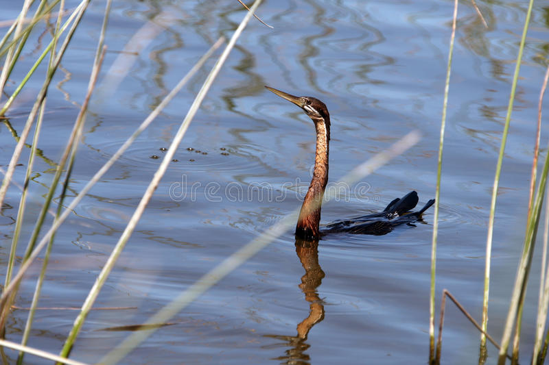 Anhinga, Waterfowl od Afrika, obraz stock