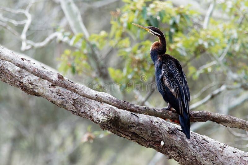 Anhingaaustralska - Anhinga-novaehollandiae - de drogende vleugels van Australasian Darter stock fotografie