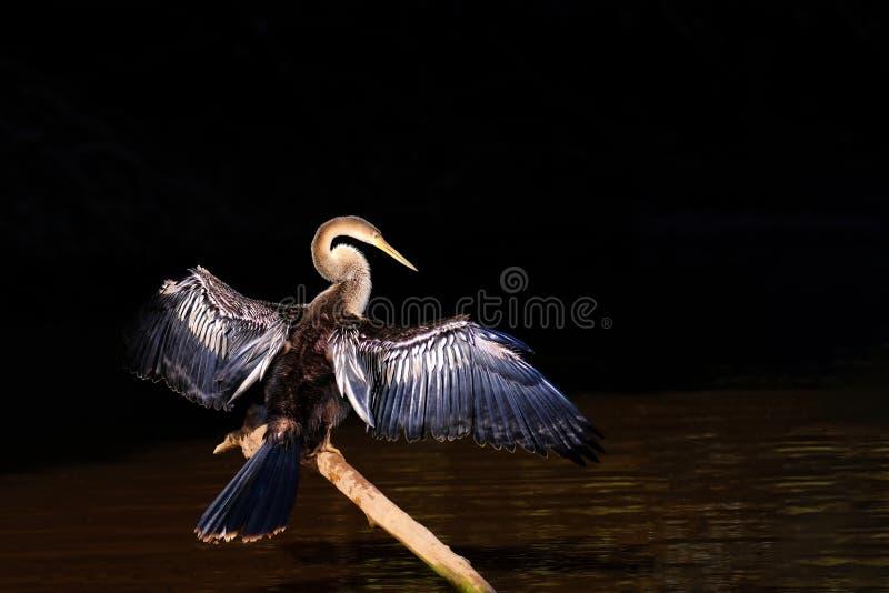 Anhingaen AnhingaAnhinga, kallade också Snakebird eller darteren, den Cuiaba floden, Pantanal, Mato Grosso Do Sul, Brasilien royaltyfria bilder