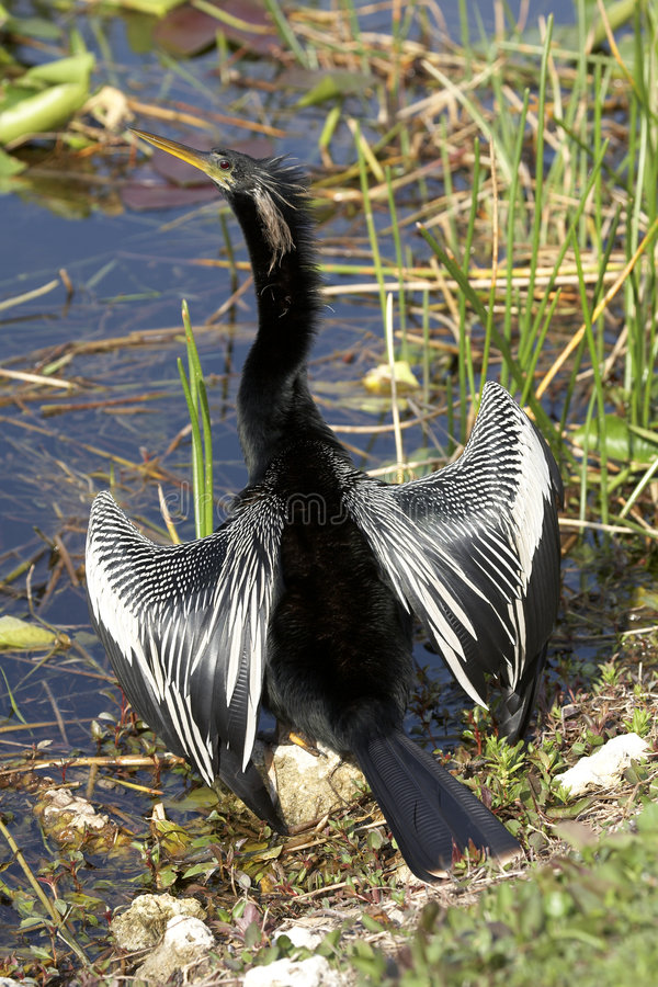 Download Anhingamannesvogel stockbild. Bild von eingebürgert, florida - 864127