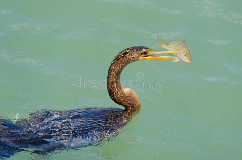 Anhingas bird with speared fish feeding. Anhingas bird, often confused with the cormorant, with a speared pigfish on it's beak preparing to eat the fish stock photos