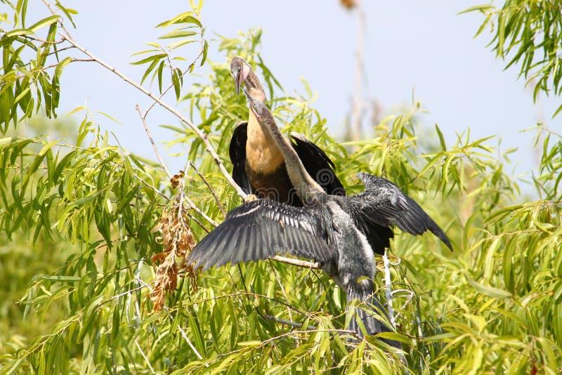 Anhingas dans les marais photographie stock