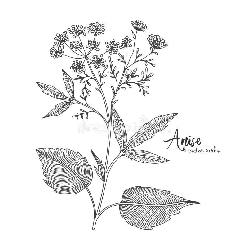 Anijsplant die op witte achtergrond wordt geïsoleerd Kruiden gegraveerde stijlillustratie Gedetailleerde biologisch productschets stock illustratie