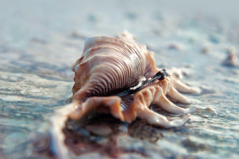 Anillo en cáscara del mar imagen de archivo