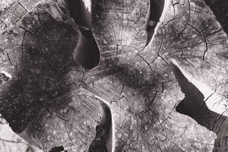 Anillos de árbol blancos y negros Tocón de árbol con los anillos anuales como modelo de madera imagenes de archivo