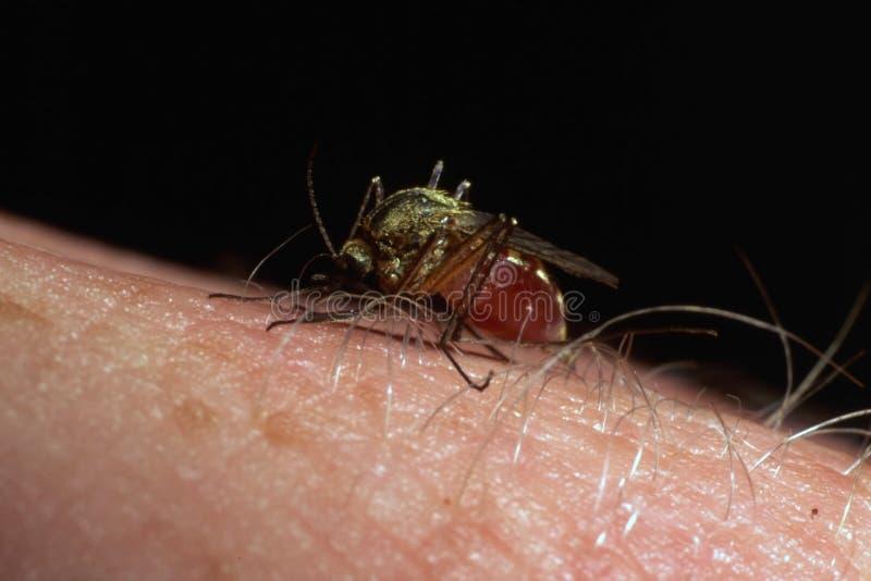 Anima di succhiamento della zanzara fotografie stock libere da diritti