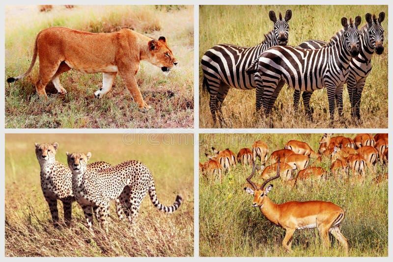 Animais africanos selvagens - leão, chita, zebra, antílope no parque nacional Colagem africana imagens de stock royalty free