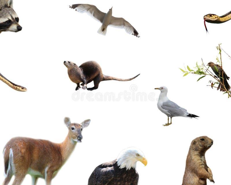 Animais americanos imagem de stock