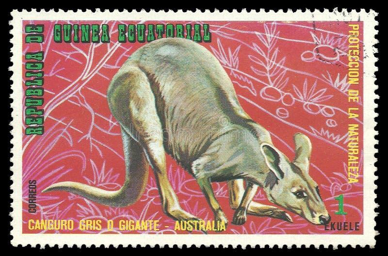 Animais australianos, Grey Kangaroo oriental foto de stock