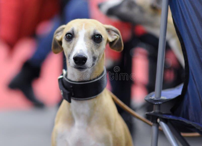 Animais bonitos na exposição de cães imagem de stock royalty free