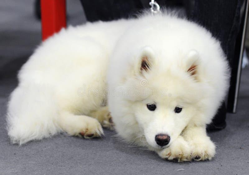 Animais bonitos na exposição de cães imagens de stock