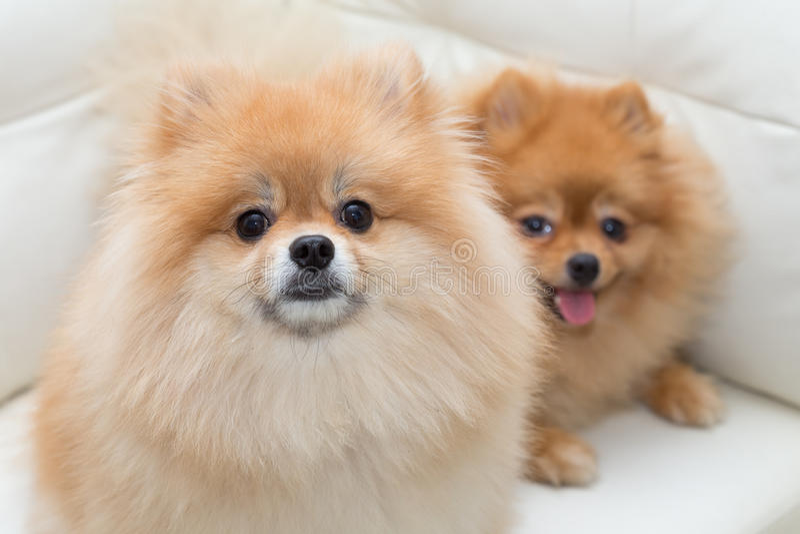 Animais de estimação bonitos do cão pomeranian do cachorrinho que sentam-se no sofá branco fotos de stock royalty free