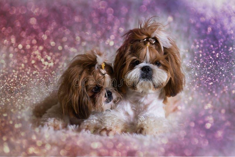 Animais de estimação bonitos do cão do tzu do shih do cachorrinho que sentam-se na mobília do sofá imagem de stock royalty free
