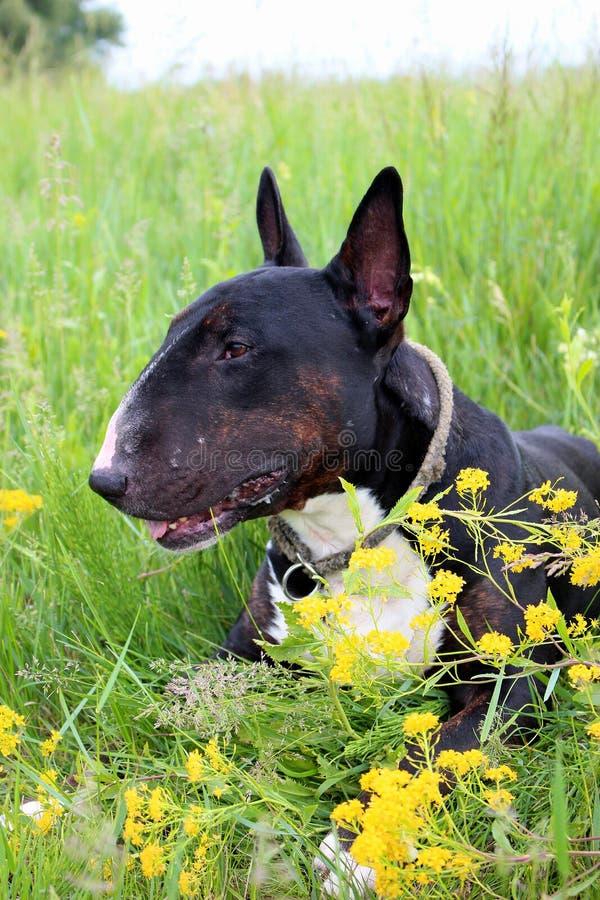 Animais de estimação bonitos - um preto masculino inglês de bull terrier e rajado com encontro branco em um prado, apreciando a c fotografia de stock royalty free