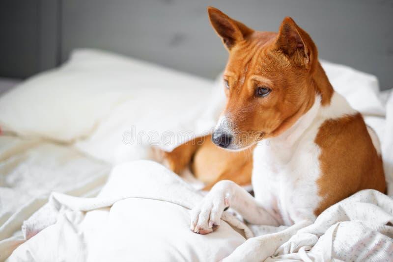 Animais de estima??o do c?o de Basenji na cama imagem de stock