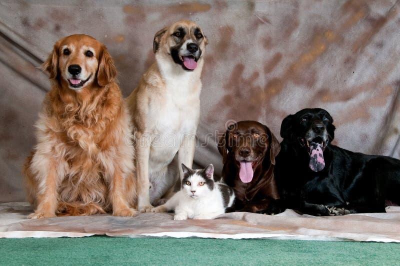 Animais de estimação do estúdio fotografia de stock