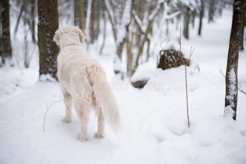 Animais de estimação na natureza retrato de um cão da beleza uma estada bonita do golden retriever em uma floresta coberto de nev fotos de stock royalty free
