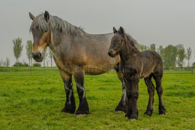 Animais de exploração agrícola - cavalo de esboço holandês fotografia de stock