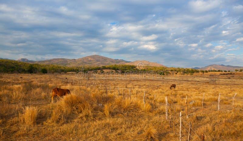 Animais de exploração agrícola no pasto no campo de Trinidad, Cuba imagens de stock