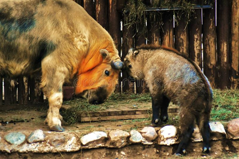 Animais do adulto e do tucano do bebê
