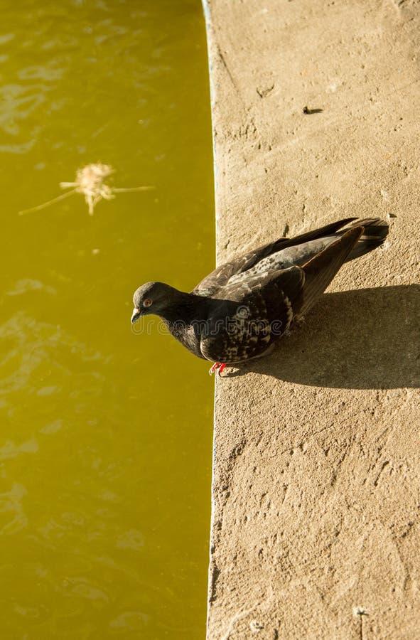 Animais do pássaro do pombo fotos de stock
