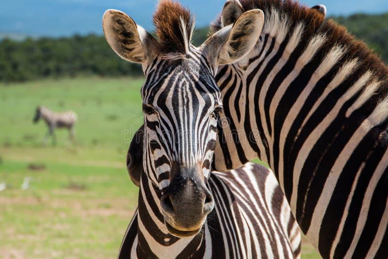Animais do quagga do Equus da zebra das planícies que estão perto junto próximos acima fotografia de stock royalty free