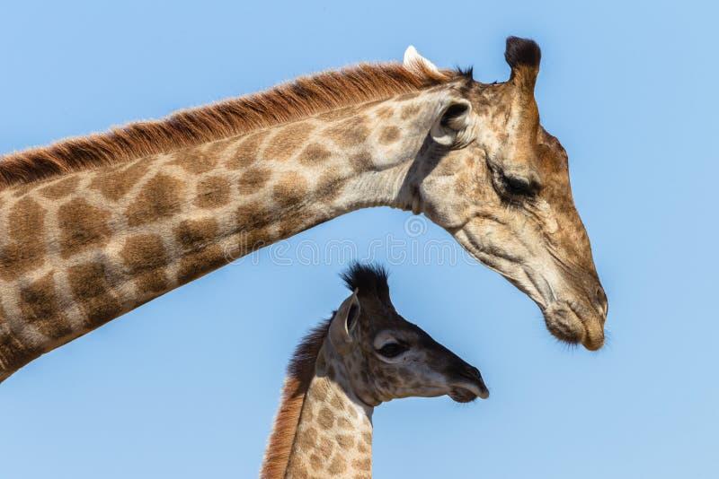 Animais dos animais selvagens das afeições da vitela do girafa fotografia de stock royalty free