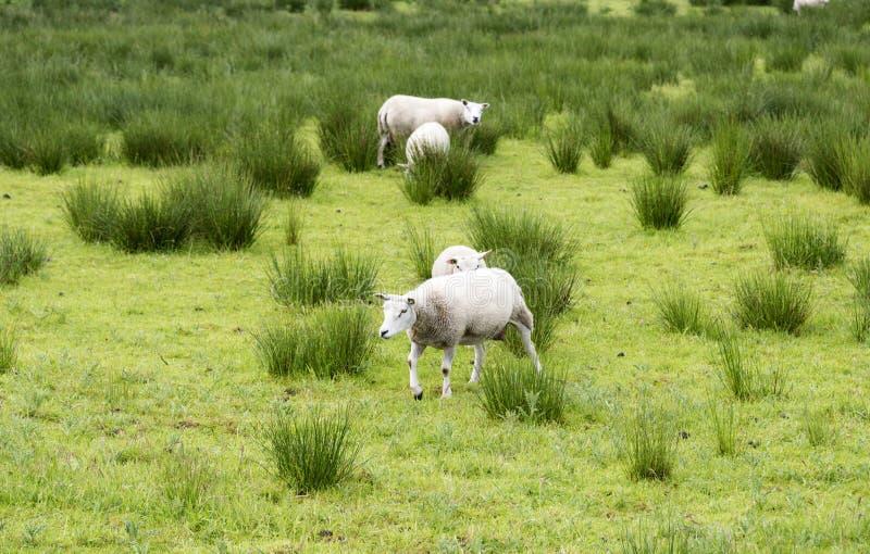Animais dos carneiros fotos de stock