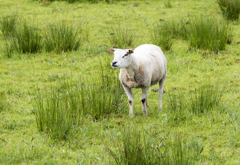 Animais dos carneiros fotografia de stock royalty free