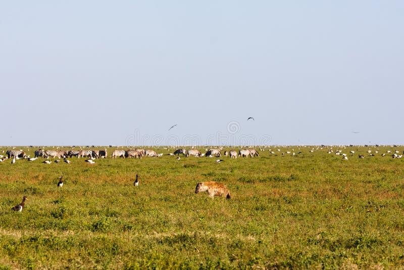 Animais e pássaros no savana de Serengeti, Tanzânia foto de stock royalty free