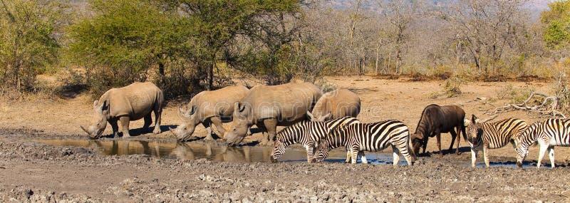 Animais em um waterhole em África do Sul imagem de stock