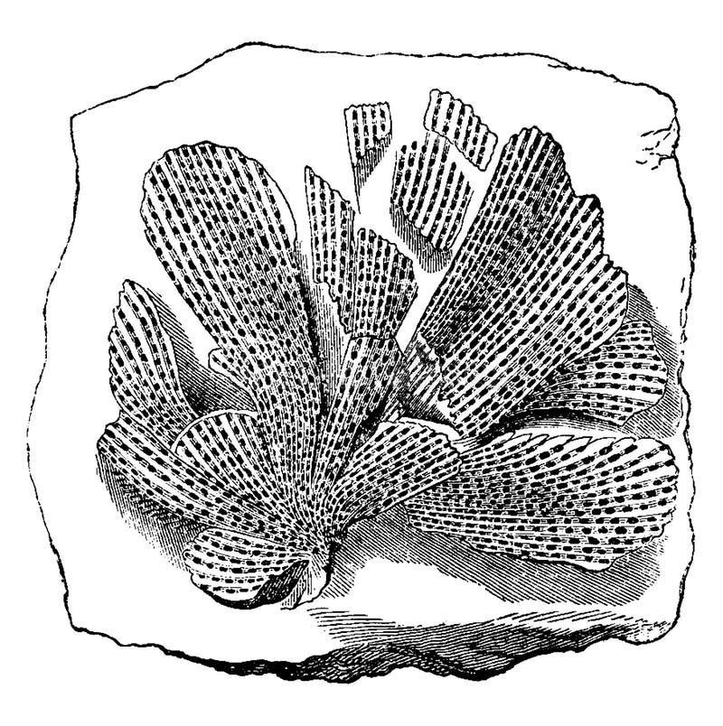 Animais mais velhos Bryozoan fóssil Mollusk Fenestella tenuiceps, gravura vintage ilustração royalty free