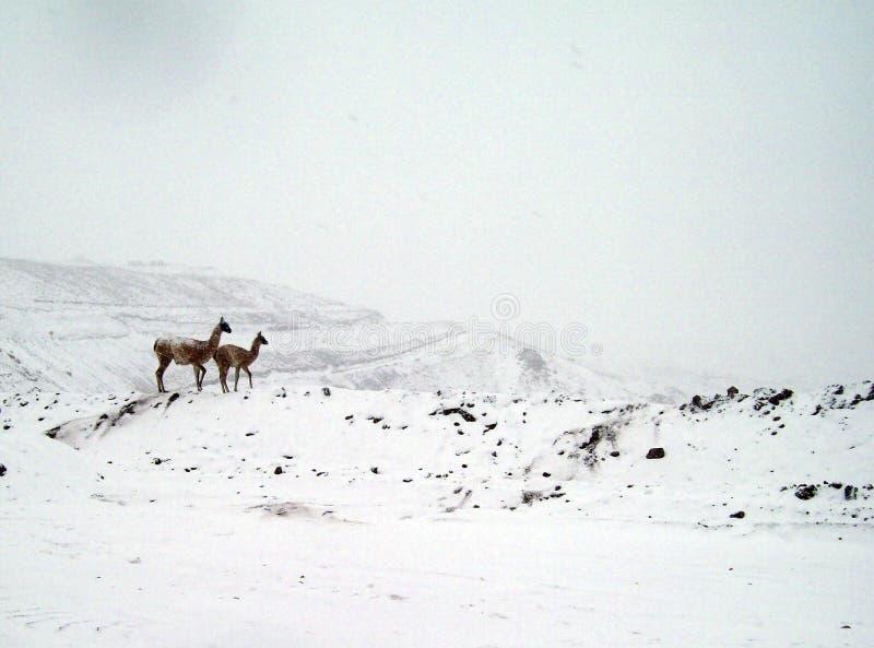 Animais nativos, (guanacos) dos Andes imagens de stock royalty free