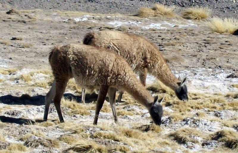 Animais nativos, (guanacos) pastando nas montanhas fotos de stock royalty free