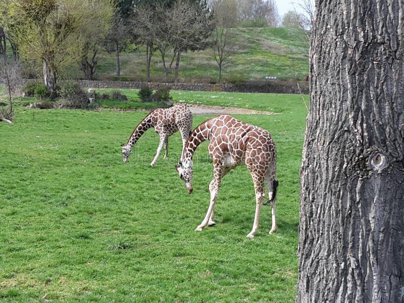 animais no ver?o no safari fotografia de stock royalty free