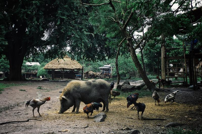 animais que vagueiam livremente no quadrado principal da vila foto de stock royalty free